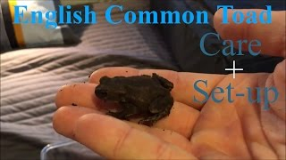 English common toad care+set up