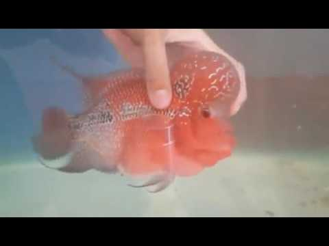 Big KOK super red dragon flowerhorn for sale - www thaiFH