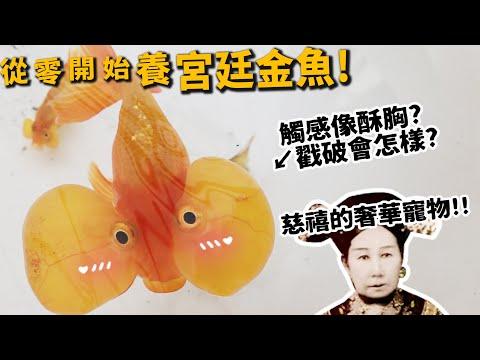 從零開始養,宮廷金魚!古代居然就有養魚攻略本!?