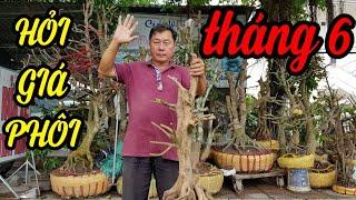 Cay Canh   Hỏi Giá Phôi Mai đẹp Ngày 3062019    Bonsai Can Tho