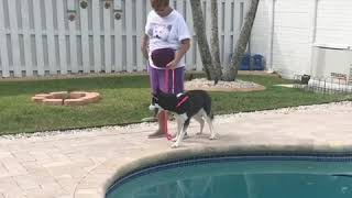 Teaching husky to walk without pulling