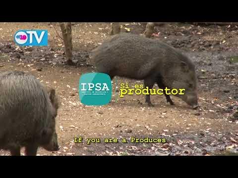 Medidas sanitarias para prevención de peste porcina africana(PPA)