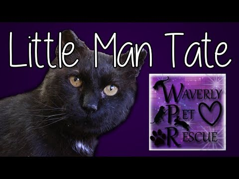 Little Man Tate ADOPTED:), an adopted Domestic Short Hair Mix in Waverly, IA