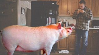 """This Couple Accidentally Adopted A 650lb """"Mini Pig"""""""