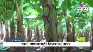Ramachandra Save Banana Farming Success Story