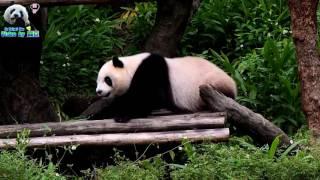 20170506 保育員彪哥喊圓仔回家囉The Giant Panda Yuan Zai