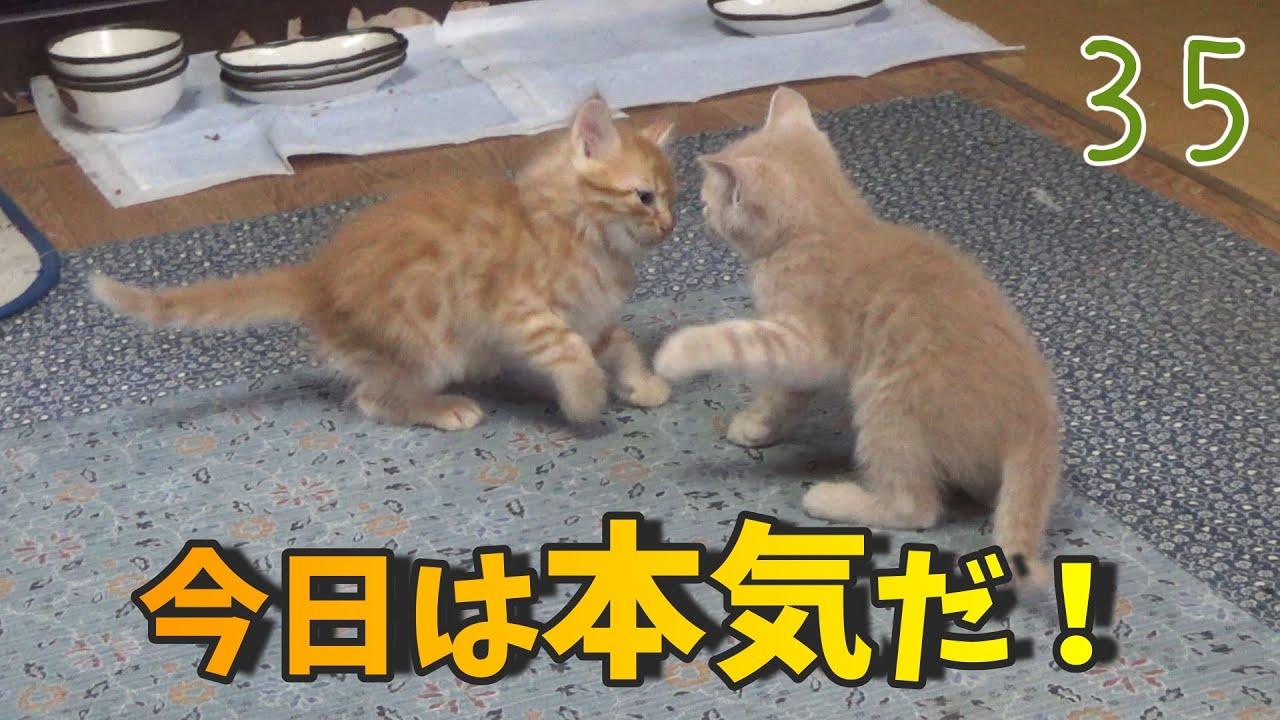 子猫の力比べが真剣な程ほのぼのする