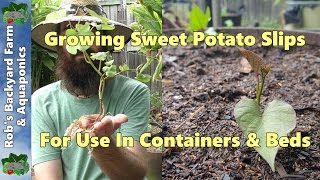 Growing Sweet Potato Slips for Containers & Beds