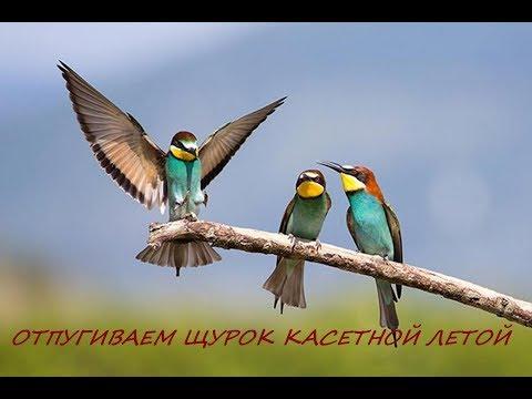 Щурка в небе БОРЬБА с птицами на пасеке
