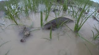 Đi Lụm Cá Rô Đồng vào mùa mưa