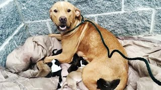 Pit bull gives birth to 10 puppies. Hours later, the unimaginable happens