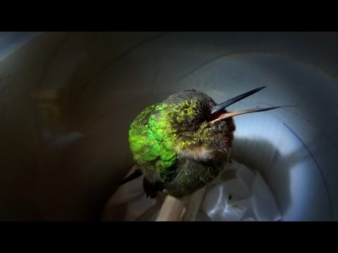 Snoring Hummingbird