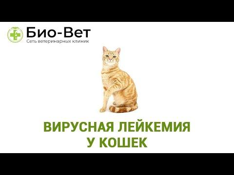 Лейкоз у Кошек 🙀: симптомы, профилактика и лечение // Сеть Ветклиник Био-Вет