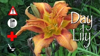 Day Lily: Edible, Medicinal, Cautions & Other Uses