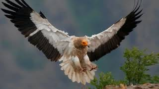 Egyptian vulture Facts  Interesting Facts about Egyptian vulture   Facts about Egyptian vulture