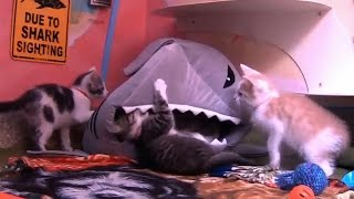 How to Survive a Shark Attack (As Told by Kittens)