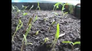Time Lapse Film Of Cosmos Seeds.