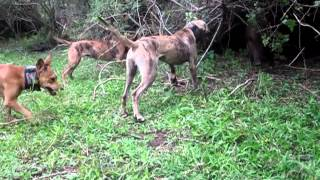 ABS Hog Dogs 11