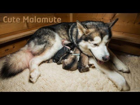 Bellissimo video di un Alaskan Malamute che da alla vita i suoi  sei cuccioli