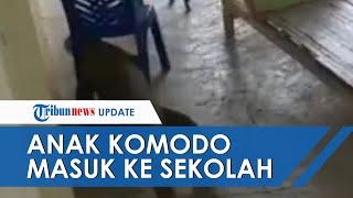 Viral Video Anak Komodo Muncul ke Pemukiman dan Masuk ke Sekolah, Kepala Desa Sebut Hal Wajar