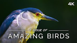 Amazing Birds: 1 HOUR Of Colorful Birds With Ambient Music (4K UHD Film)