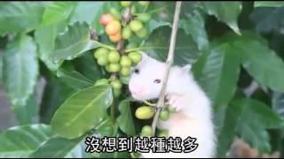 果子狸 咖啡香 台東貧農翻身 養山豬種咖啡 年賣200萬