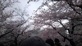 20160403の桜開花状況上野公園