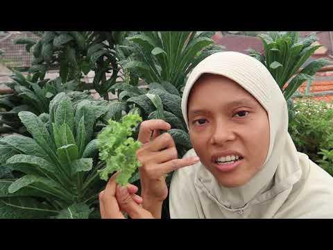 Ep  63 tidak perlu buat pestisida nabati, kenapa?II makan kale mentah di kebun, mau?