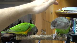Kili Senegal Parrot and Truman Cape Parrot Enjoying Some Petting