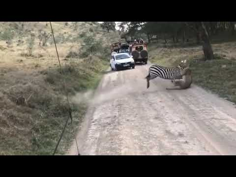 Zebra Fights Off a Lion
