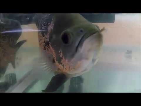 Video Ikan Oscar Makan Katak..