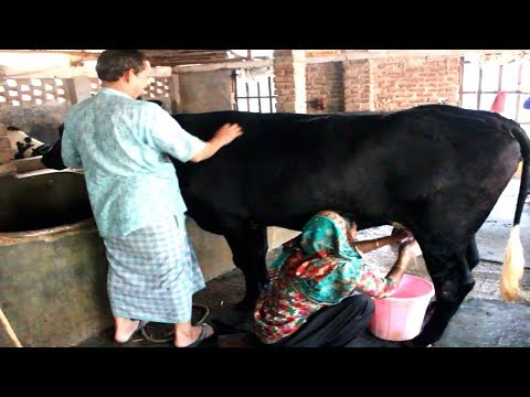 , title : 'Dairy Cow - Dairy Farm Business Plan Can Create a Good Jobs Opportunity for the Unemployed Youth