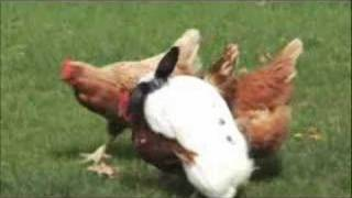 RABBIT VS CHICKEN