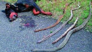 Ovog psa su napale četiri zmije, a ono što se desilo nakon toga će vam slomiti srce