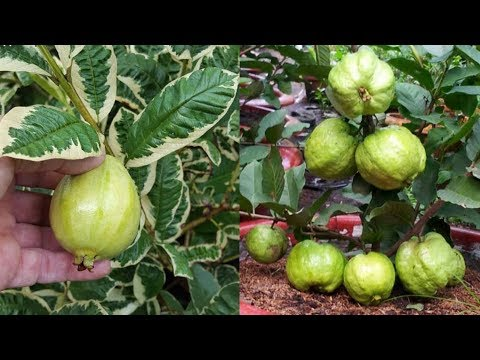 How to graft a (bonsai) guava tree!!!
