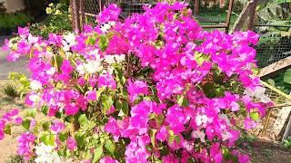 Natural Rooting Hormone Using Alovera In Malayalam/കറ്റാർവാഴ  കൊണ്ട്  ചെടികൾക്ക്  വേര്  ഉണ്ടാകുന്ന
