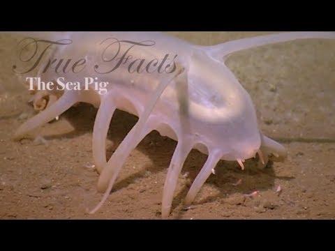 Mořské prasátko
