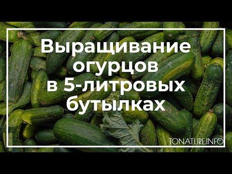 Как вырастить огурцы в 5-литровых бутылках? | toNature.Info