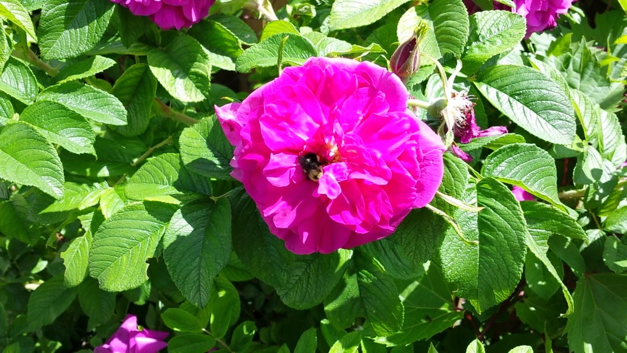 Busy bee working with a Hansa hardy rose