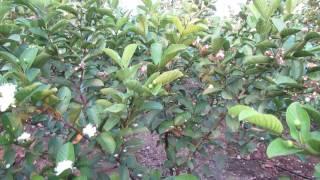 Taiwan pink guava clonal plants .9949614751,9494665252