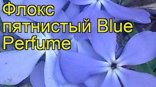 Флокс пятнистый Синий дух (Blue Perfume). Краткий обзор, описание характеристик, где купить саженцы