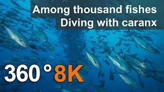 360 video, Among thousand fishes. Diving with Caranx. 8K Underwater video