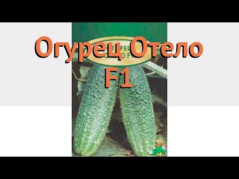 Огурец обыкновенный Отело F1 (otelo f1) 🌿 огурец Отело F1 обзор: как сажать семена огурца Отело F1