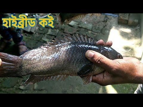 HYBRID KOI & DESI SHING FISH TANK /হাইব্রীড কই  এবং  দেশি শিং মাছের ফার্ম .