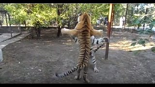 Тигриные разборки. Tigers are trained to fight