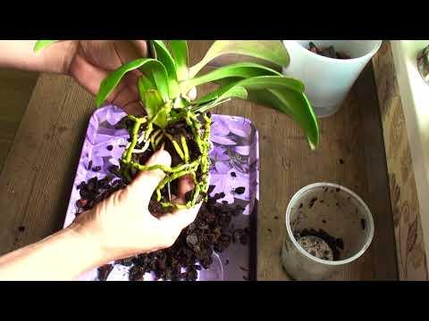 ОРХИДЕЯ СГНИЕТ если это не убрать, пересадка уцененной орхидеи Фронтеры за 199 руб