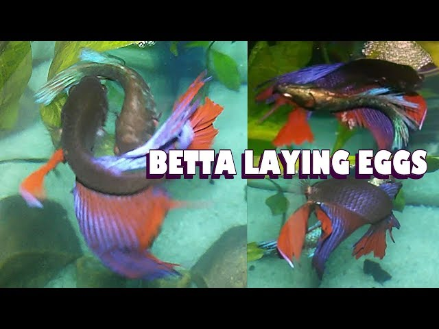 BETTA male-female Laying Egg ::SMALL BETTA FISH TANK