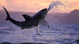 Хищник океана .Большая белая акула .