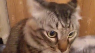 Смешной СИБИРСКИЙ КОТ Гришка.Смешные коты и кошки.