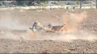 Bobcat Attacks and Kills a Deer (HD)